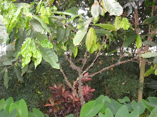 The Cacao Plant!! Love it!!!!!