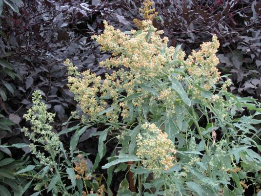 Quinoa! So awesome! This is another one I had no idea about how is grew, love it!