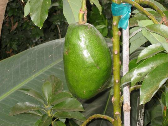 Is this the worlds biggest avocado?