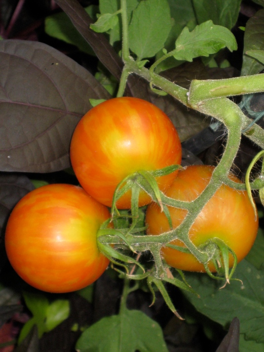 gorgeous tomatoes!