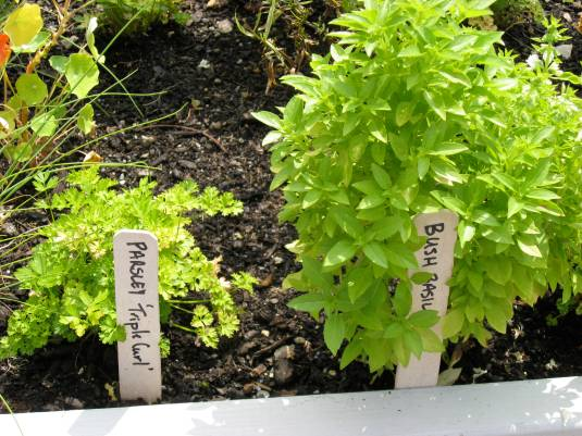 Bush Basil and Parsley