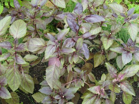 Purple Leaf Basil