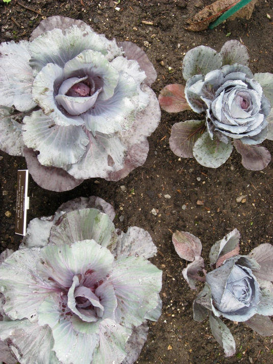 """How pretty are these red cabbage """"flowers""""!!"""